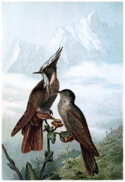 oldbookillustrations: Bearded Helmetcrest. From Brehms Tierleben (Brehm's animal life) vol. 4, under the direction of Alfred Edmund Brehm, Leipzig & Vienna, 1900. (Source: archive.org)