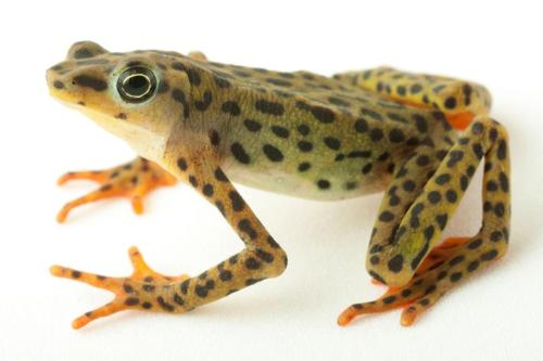 Rio Pescado Stubfoot Toad (Atelopus balios)  … is endemic to slow-moving streams and moist forests of sub-tropical and tropical Ecuador. This species was once considered extinct as a result of the widespread amphibian chytrid fungus that has decimated many amphibian populations. However, it was rediscovered in October 2010 during an expedition to Southwestern Ecuador sponsored by Conservation International, the IUCN Amphibian Specialist Group, and Global Wildlife Conservation (GWC). Learn more about this species on Encyclopedia of Life. (Image by Arca de los Sapos via Flickr)