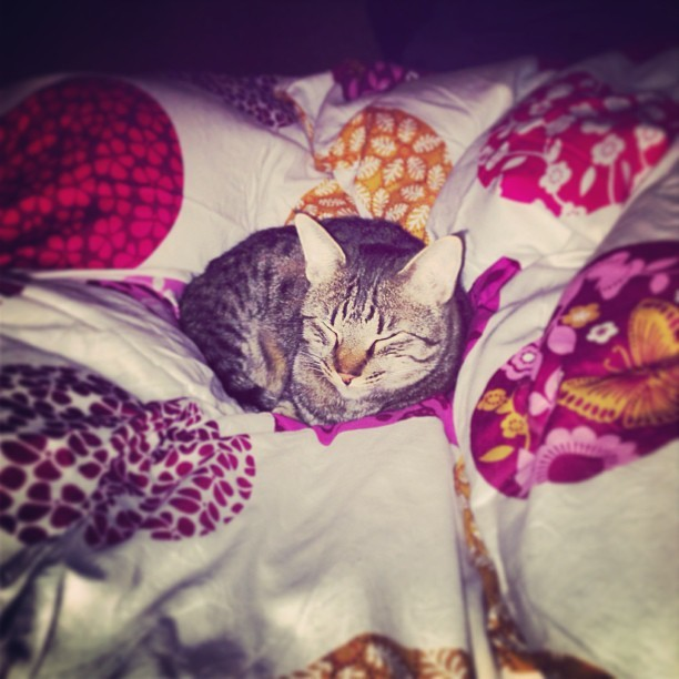 comfi in the bed <3 #cat #cats #catsagram #catstagram #instagood #pet #pets #animal #animals #petstagram #petsagram #photooftheday #catsofinstagram #ilovemycat #instagramcats #catoftheday #lovecats #furry #sleeping #adorable #catlover #instacat