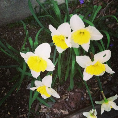 A little bit of much-needed sunshine popped out today. #flowers #daffodils #spring #brightspotdarkweek