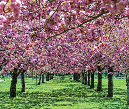 annieisms:  theloopweaver:  The cherry trees at the Brooklyn Botanic Garden. The season is justifiably popular.  I bought a membership to the Brooklyn Botanic Garden… can't wait for the cherry blossoms in April!