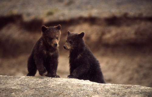 marvelousbearsofmoxleyselcouth:  grizzly cubs