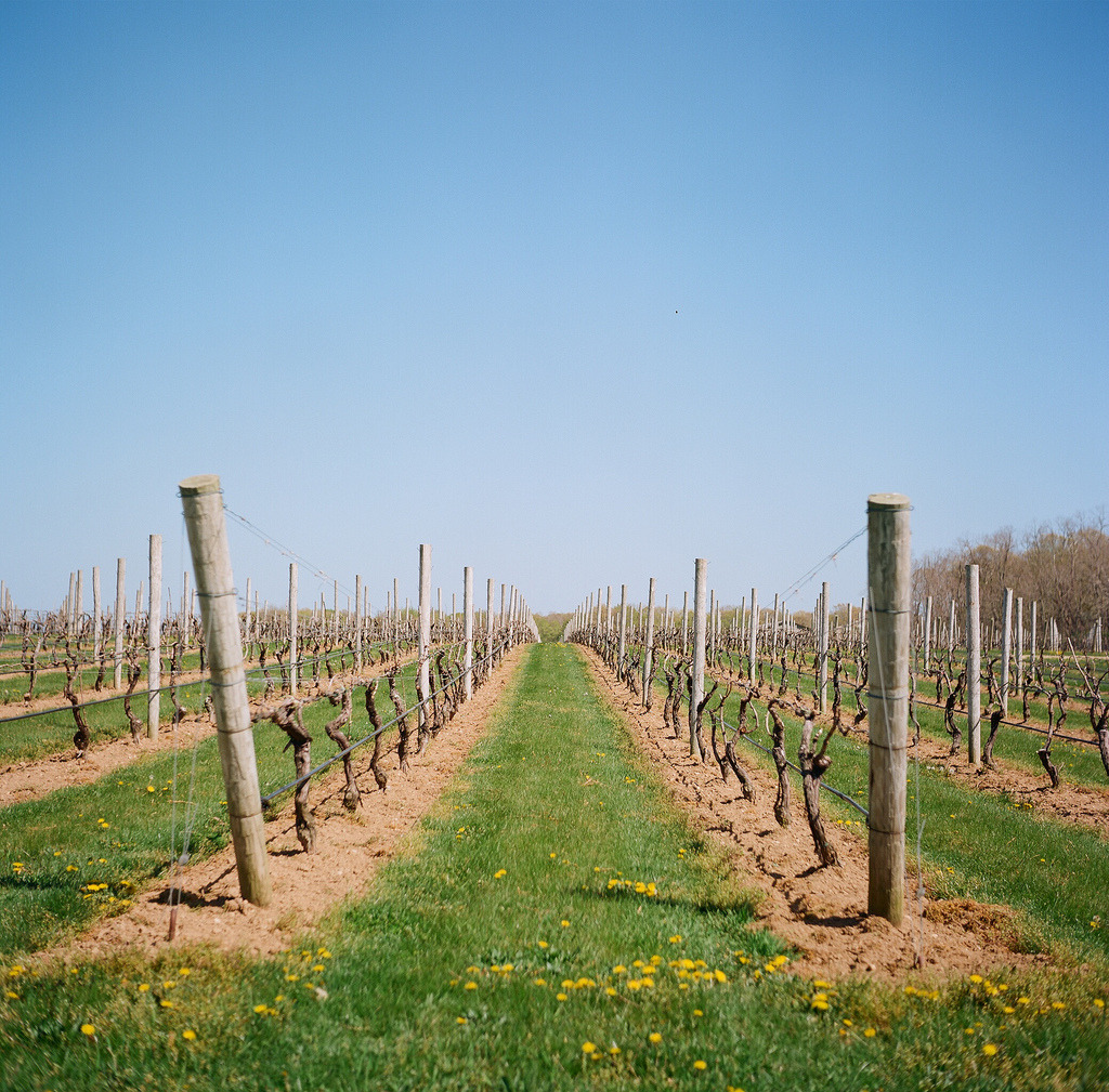 Vineyards  Yashicamat 124G | Ektar 100  Cutchouge, NY