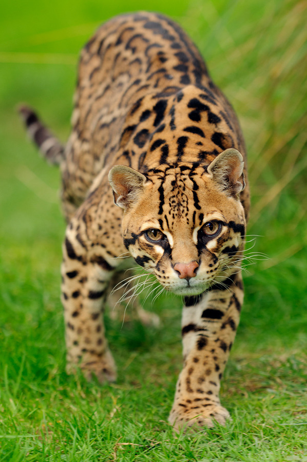 animalkingd0m:  Ocelot by Terry Whittaker
