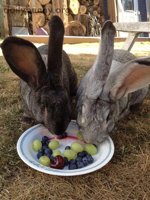 Bunny Brothers Share a Fruit PlateHappy Bunday! Thanks, Vicky and bunnies Jacks and Checkers![Ed. note: While there&#8217s quite a lot of itthis photo, please remember thatfruit is a treat for bunnies and too muchof itcan cause digestive problems.]