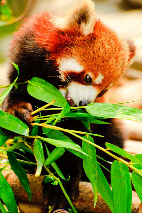 earth-song:  Red Panda II by ~Andross01