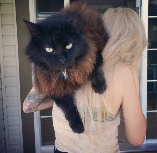 0ctogram:  the-amittyink:  modifiedmuggles:  I want this cat!  omg same  Lights' cat is huge omfg