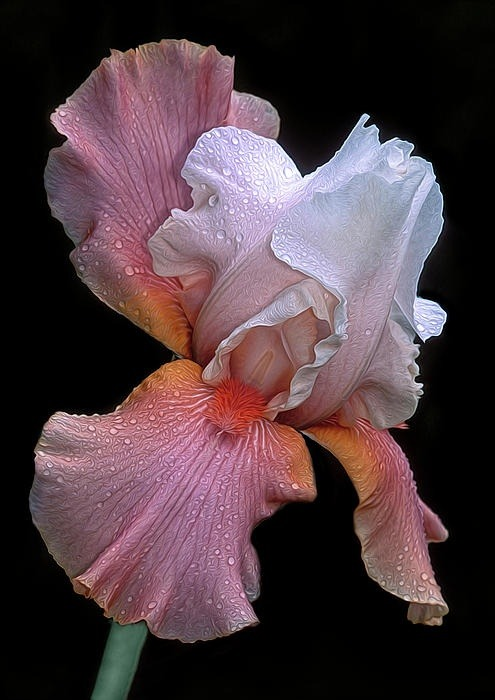 myviewfromsomewhere:  (via Visual Inspiration / Bearded Iris)