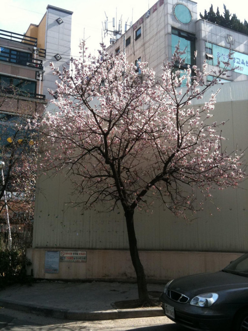 skyrail:  Cherry blossom tree (by formulapuff)