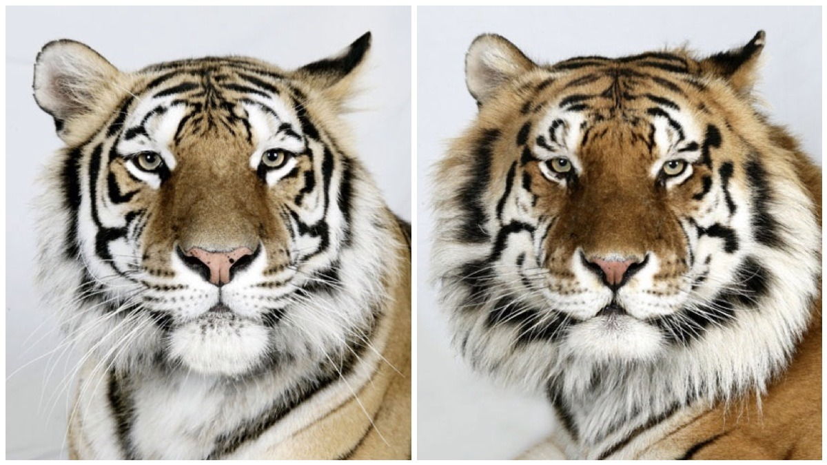 n0ot-no0t:  vmagazine:  Dr Bhagavan Antle of The Institute of Greatly Endangered and Rare Species (T.I.G.E.R.S), photographs 4 varieties of Bengal tigers  This is GORGEOUS
