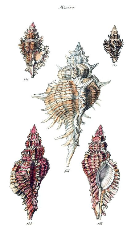 Murex.  From The conchological illustrations, by George Brettingham Sowerby, London, 1832.  (Source: archive.org)