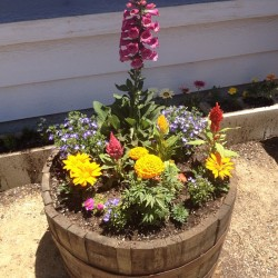 #Flowers in a #whiskey barrel. Planted these yesterday.