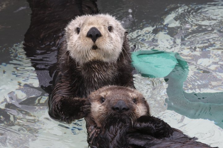 "montereybayaquarium:   Is this a Countdown to Cuteness sweepstakes entry day? We'll never tell! Each day we'll reveal a fun photo, video or otter fact—just click on the highlighted day. On certain days (check back often) you can enter our ""Countdown to Cuteness"" sweepstakes for a chance to win an exclusive, behind-the-scenes tour of the exhibit—and meet some of our star otters! You'll also get free Aquarium access for the day and an Aquarium gift card to use in our Gift & Bookstore or restaurant. Bonus: Based on entries received each week, we'll select two weekly winners to receive an ""otterly"" delightful gift package. Check it out via your Desktop.  Via your mobile.     SWEAR TO GOD.  THIS IS THE FIFTH FUCKING TIME I'VE SEEN A PICTURE OF SEA OTTERS BY THIS PERSON.   Fuck you. Thanks for ruining my entire day by it's FACE. I mean, just LOOK."