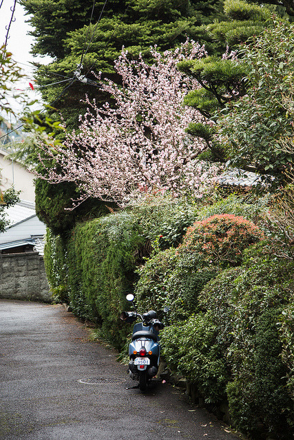 Cherry Blossoms & Scooter on Flickr.Via Flickr: Cherry Blossoms & Scooter