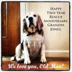 PARTY ALERT! It's Grandpa Jones' big day. The Old Man turns two today. For every 'Like' on this post, we will kiss Grandpa for you! Rescued from euthanasia at a rural, high-kill animal shelter, Grandpa found safety at Harvest Home Animal Sanctuary and got a new lease on life. Despite his senior citizen status, this fifteen-year-old rescued beagle is a born-again puppy. It's a wonder to watch this wise gentleman run, howl, and, yes, snore with such zest and zeal. He reminds us to make every day a meaningful one.  Today, we salute you, Grandpa!