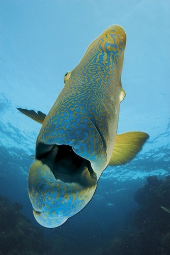 A humphead wrasse on Opal Reef. Photographer: DAVID DOUBILET