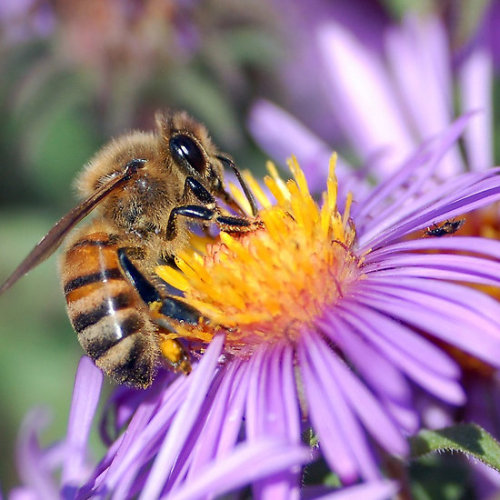 "Honey Bee On Purple Flower Since time began, honey and bees have been part of the great myths of humanity and have always been extraordinarily potent symbols. The birth of bees: According to the ancient Greeks, all of Nature's phenomena had divine origins. Bees were a source of great fascination, and their mysterious origins inspired the legend of Aristæus: Aristæus, the son of the god Apollo, had a beehive. But he wanted to seduce Eurydice, Orpheus' wife, who died from a snake bite because she had refused Aristæus' advances. In revenge, Orpheus destroyed Aristæus' hive. To appease the wrath of the gods, Aristæus sacrified four bulls and four heifers. From their entrails, new swarms suddenly appeared, so Aristæus was able to rebuild his hive and teach beekeeping to men. . This legend is told by Virgil, the great Latin poet, in his famous ''Georgics''. Like the ancient Greeks, he believed that bees were born spontaneously from animal corpses.In the texts of ancient Egypt, bees were born from the tears of Râ, the Sun God. When the tears fell onto the soil, they were transformed into bees that built honeycombs and produced honeyClick the links to see all of my Redbubble Insect Art and Photography Bee Art and Photography andInsect TeesMy artwork, photography and design can be found in my Zazzle Galleries. Check out customizable gifts and collectables at Female Contemporary Art, Arttowear and Rottweiler Gifts Follow links to 3DRose for customizable Photography and Acrylic Art-——————————————————————————————————————————————————Canon Rebel XT 8.3.13.-——————————————————————————————————————————————————       *My Images Do Not Belong To The Public Domain. All images are copyright © taiche. All Rights Reserved. Copying, altering, displaying or redistribution of any of these images without written permission from the artist is strictly prohibited -——————————————————————————————————————————————————Bee symbolism: As the workers of the hive, bees are symbol of an industrious and prosperous community governed by the queen bee. They have therefore symbolized all that is royal and imperial , in France and in ancient Egypt (associated with Râ, the Sun God).Three hundred gold bees were discovered in the tomb of Childeric I (on the year 481), which showed that the hive was the model of an absolute menarchy. Napoleon I used bees as a motif on all his carpets, as well as on his coronation robes. As organizers of the universe between earth and sky, bees symbolize all vital principles, and embody the soul . In the Greek religion, the bee was sometimes identified with Demeter, the goddess of the earth and crops, who represented the soul sent to hell. The bee also symbolizes the soul that flies away from the body in the Siberian, Central Asian, and South American Indian traditions. Bees also symbolize eloquence , speech, and intelligence . In Hebrew, the word for bee, Dbure, has its origins in the word Dbr, speech. They settled on the mouth of the child, Plato, "" announcing the sweetness of his enchanting soul "" (Pliny) and also settled also on the lips of Saint Ambrose, the patron-saint of beekeepers. According to Virgil, they have a grain of divine intelligence and the famous Pythia, the priestess of Apollo, was called ""the bee of Delphi"". In some texts from India, the bee represents the spirit becoming intoxicated with the pollen of knowledge. Because of its honey and its sting, the bee is considered to be an emblem of Christ : it represents his mildness and mercy on one side and his justice on the other."