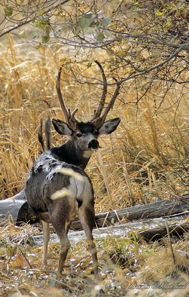 Mule deer with abnormal antlers.