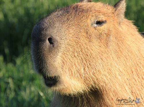 The mouth of a capybara is surprisingly small. Imagine how big a dog's mouth would be.