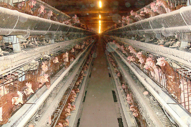 "vicemag:  Beat Your Meat: New Law Lets Factory Farmers Choke Their Chicks in Private Industrial agriculture executives and lawmakers have responded swiftly to undercover investigations like this one, but not in the ways you might expect. Rather than improving animal welfare, enhancing criminal penalties, or increasing oversight of the industry, there's a national campaign to criminalize anyone who brings these abuses to light under the guise of protecting the farmers and their food supply from animal- and environment-loving ""terrorists."" Continue"