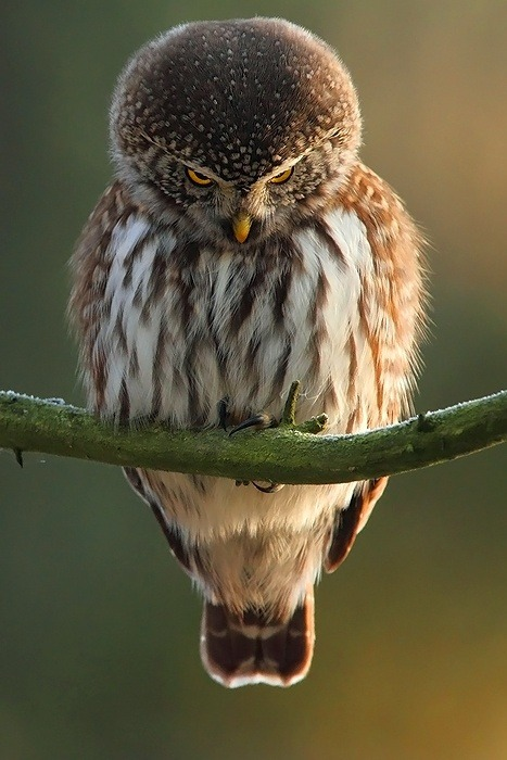 x-enial:  Evil Owl (source)