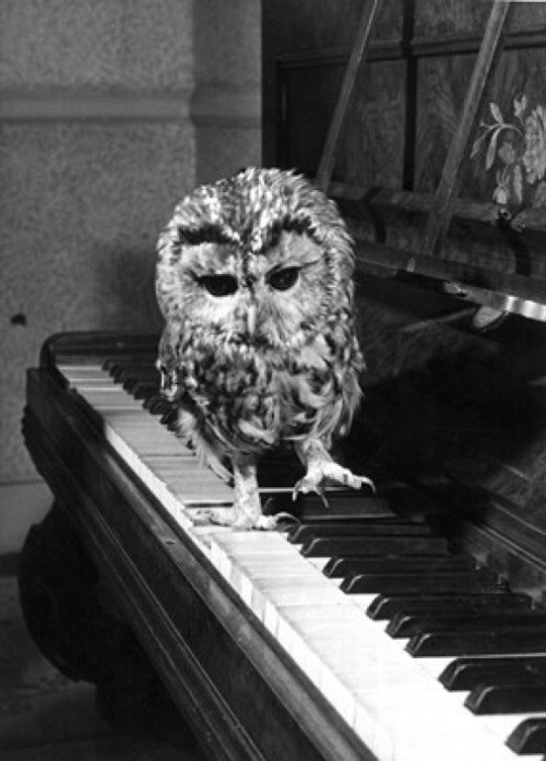kisordog:  Owl playing piano :) on We Heart It - http://weheartit.com/entry/53389153/via/iborcsa Hearted from: http://www.cutestpaw.com/images/owl-playing-piano/