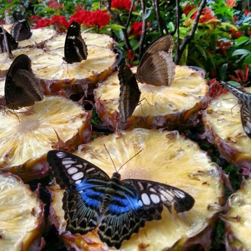 So butterflies like pineapples? #butterflies #changiT3 #changiairport #giwtravel #garden @fansofchangi  (at Butterfly Garden)
