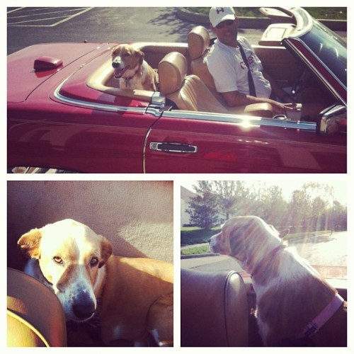 Daisy's first convertible ride! Verdict: YES!