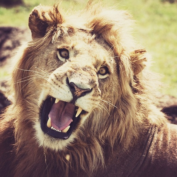 Angry lion! #africa #wildlife #kenya #masai #mara #safari #animal #lion #wildlife