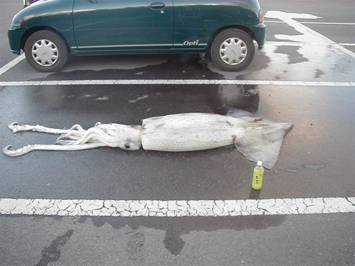 thefuzzhead:  japcoregalore:  let me just park my squid  I'm glad to see they did the responsible thing of leaving a drink with their squid.