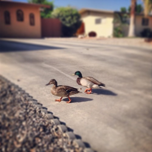 Pulling weeds in the front yard…#duckattack #dafuq #awesomemorning  (at Home)