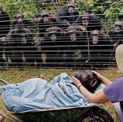 When this female named Dorothy died of heart failure, all the chimpanzee family came out of the forest to say good bye. The most stunning reaction was a recurring, almost tangible silence, reported staff at Cameroon's Sanaga-Yong Chimpanzee Rescue Centre. If you know chimpanzees, then you know that they are not usually silent beings.Note how the Chimps behind the fence have their arms around each other. Truly beautiful to witness.
