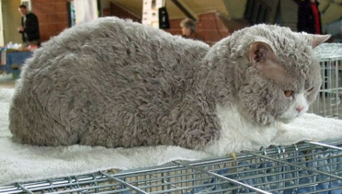mothernaturenetwork:   Ever seen a poodle cat? The cats' signature curly fur is caused by a dominant trait, and their ancestry can be traced back to a single cat from Montana.