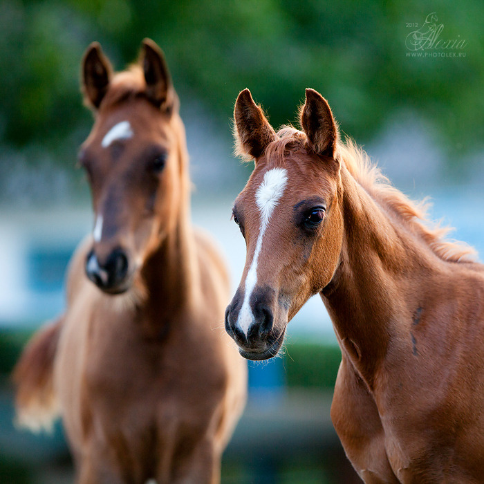 equine-dream:  Arabian Foals by Alexia Khruscheva
