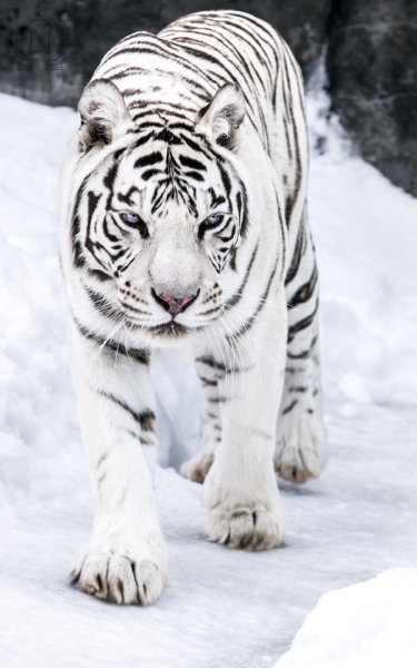 magicalnaturetour:  White Tigress III by *OrangeRoom