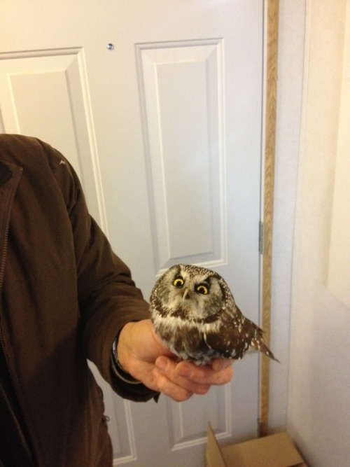 luckstergal:  bellisadinosaur:   This baby owl hit our window. Gave us this look the whole time - Imgur  YOUR FORCEFIELD DISPLEASES ME AS DOES YOUR INTERIOR DECORATING  HELP I AM CRY  Look under your window, he obviously dropped your Hogwarts letter.