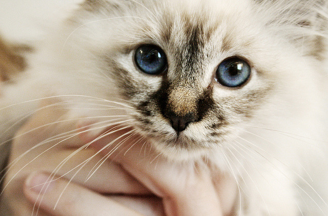 porfininfinitum:  Minou by .chourmo. on Flickr.