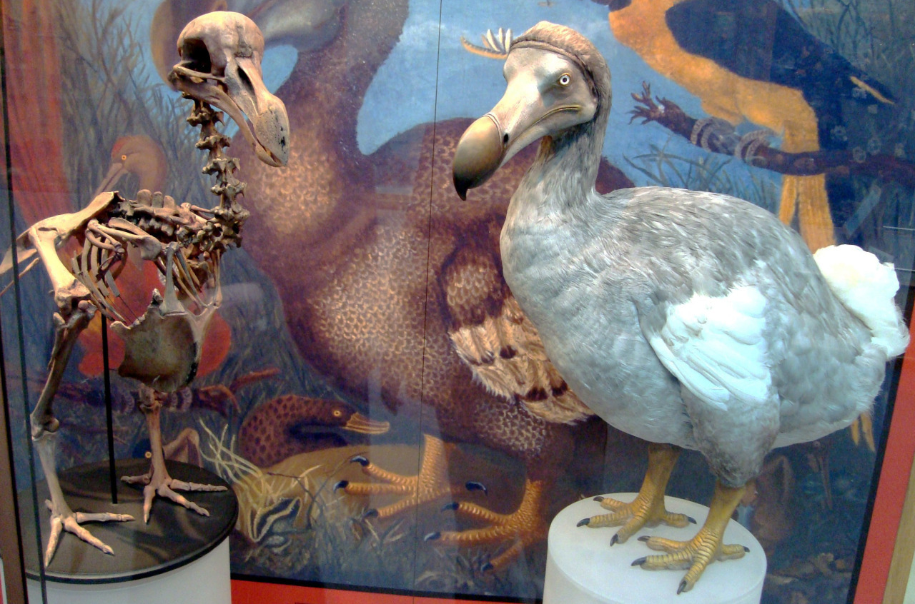 astronomy-to-zoology:  What's the Deal With Dodos? they are not as dumb as you might of thought If there's an animal that died during the holocene that people seemed to remember that animal would have to be the mammoth Dodo. Unsurprisingly alot of people know almost nothing about the famous flightless bird. But don't fret after reading this post you will know more than you ever needed to know about the Dodo. To start it off the Dodo (Raphus cucullatus) was a species of flightless pigeon that found its way to the isle of Mauritius. They were fairly large birds with adults reportedly growing up to 3 feet tall and weighing around 40 pounds. Like several other flightless island birds they evolved on an island with no mammalian predators, so eventually their pigeon ancestors lost their wings and instead grew powerful legs and bills. Meaning that dodos spent all of their time on the ground where they feed on fruit and seeds using their powerful bills. Not too much is known about their behavior as they were never studied in detail. Unfortunately we all know how this story ends, in the 17th century Dutch sailors landed on Mauritius and a combination of introduced predators which fed on the dodo's eggs and overharvesting of dodos for meat led the species to its fate in 1662. The dodo's story does not end here though as it had several species related to it. The most closely related bird was the Rodrigues Solitaire (Pezophaps solitaria) which was another species of large flightless pigeon that was native to the island of Rodrigues but unfortunately they shared the same fate as the dodo and went extinct in 1778. Don't worry though the dodo does have some relatives that are still alive. The dodo and solitaire were both members of the subfamily Raphinae which is an offshoot of the family Columbidae which houses most common doves/pigeon like the Rock Dove (Columbia livia). Since we placed the dodo in columbidae we can tell through the use of molecular data what species were most closely related to the dodo. Results from such an analysis show that the closest living relative of the dodo was The Nicobar Pigeon (Caloenas nicobarica).  The Nicobar Pigeon is then followed by the Victoria Crowned Pigeon (Goura victoria) and the mysterious Tooth-billed Pigeon (Didunculus strigirostris). However this only means they were related and does not imply a close relationship. Well hopefully that answers any questions you might of had about the dodo, and I hope you all are dodo experts now.  Cladogram of Raphiniae and closest related species *This post is pretty long so this should summarize it up pretty good *Also i highly recommend a reading of Lost Land of the Dodo for further information on Mauritius's numerous extinct animals.  Image Source