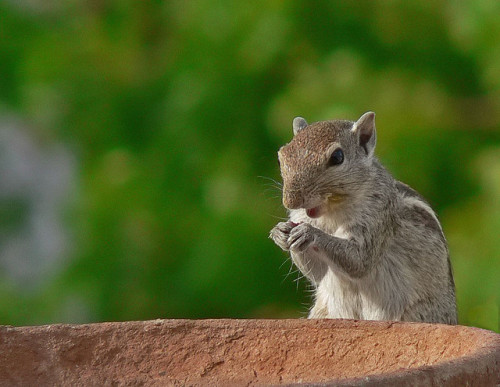 Indian Palm Squirrel (by Pandiyan)