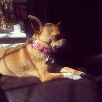 Little babydog in the sunshine ☀ #chihuahua