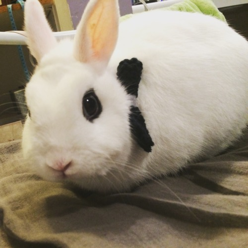 bunny cute hotot bunnies of tumblr animals of tumblr animals cat bow tie bowtie bunny in bowtie white love like follow reblog