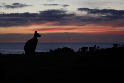 Kangaroo sunset in kangaroo island, Australia