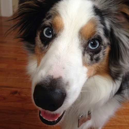 #nofilter #riot #dog #aussielove #miniaussie  (at The AlyKat)