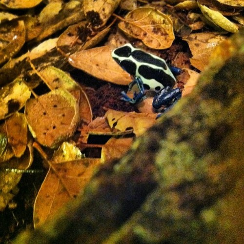 Newest member of the team  a poison dart frog. #poisondartfrog