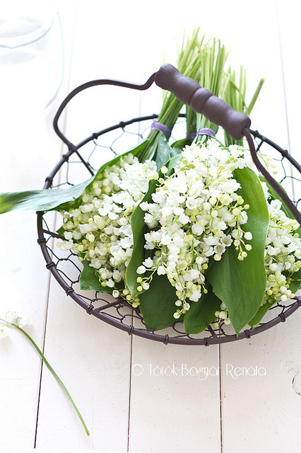 lovefrenchbulldogs:  Lily of the valley by bognarreni on Flickr.