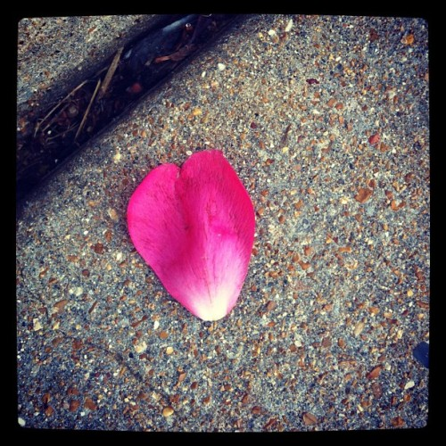 """Good morning!!"" Says today's rain-sodden petal heart!"