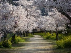 to-be-decided:  Cherry Trees in Japan