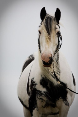 beautiful horse black&white
