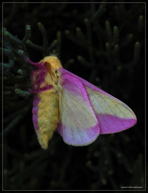 Rosy Maple Moth 50D0000387 by ~Cristian-M