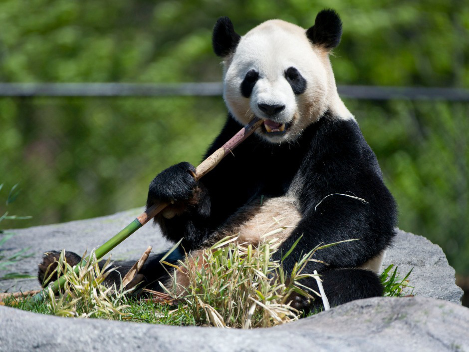 Panda watch, commence! Toronto Zoo's furry new rock stars make their debutDa Mao and Er Shun were treated like rock stars on Thursday as dignitaries flocked to the Toronto Zoo for a sneak peak of the new giant pandas.The unveiling began with a flautist leading children from Davisville Public School and Yip's Children's Choir, who sang the Canadian and Chinese national anthems. (Darren Calabrese / National Post)